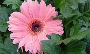 indian nursery gerbera plants exporter and supplier in hooghly