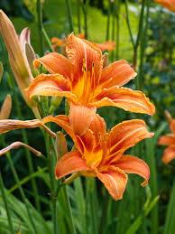 day lilies hemerocallis fulva daylily