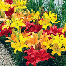 asiatic lilies asiatic mix k bourgondiens