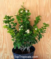toptropicals plants for home and garden