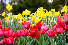 free images nature petal botany flora tulips yellow flowers