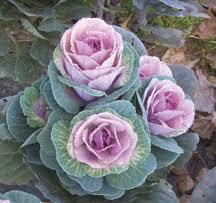 flowering kale william dam seeds