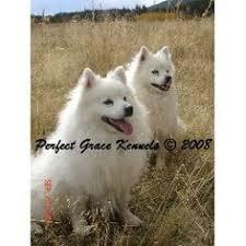 american eskimo dog breeders american eskimo dog breeder in oxford american eskimo spitz