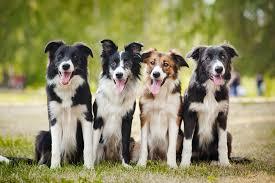 australian shepherd 1 jahr gewicht border collie ernährung und futter so bleibt ihr hund gesund