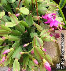 schlumbergera sp orchid cactus thanksgiving cactus