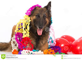 belgian sheepdog tervuren belgian shepherd tervuren dog with balloons and garlands isolat