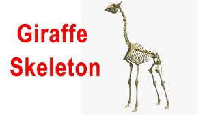 giraffe skeleton 3d model youtube