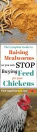 raise mealworms for your chickens to save money chicken feed