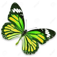 yellow and green butterfly flying isolated on white background