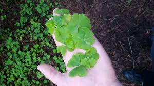 14 4 leaf clovers a five leaf clover all in one day