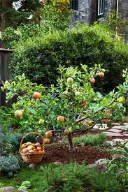 Planting Grapes In Backyard Grow Little Fruit Trees For Big Rewards Orchards Backyard And