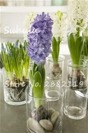 Fragrant Potted Plants - multi color mixing grape hyacinths flower 20 pcs hyacinth bonsai
