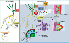 the physiology of adventitious roots plant physiology