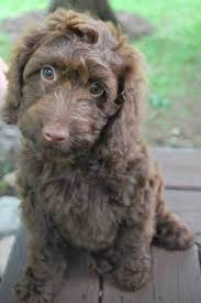 labradoodle hairstyles chocolate labradoodle haircuts animalsee club