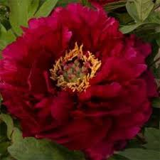Peonies For Sale Chinese Tree Peonies For Sale Cheap Peonies Online Plants