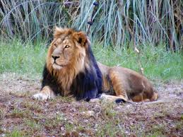 male lion wallpapers lider the lion king of jerusalem dies at 16 the times of israel
