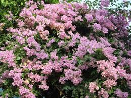 Fragrant Tropical Plants Bangkok Gardening Flowers That Thrive During Thailand U0027s Dry