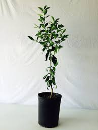 3 4 foot lime tree in 3 5 gallon grower s pot indoor