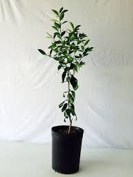 3 4 foot lime tree in 3 5 gallon grower s pot indoor