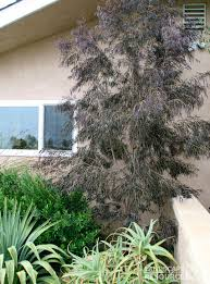 after peppermint tree landscaperesource