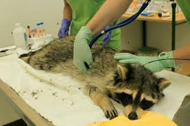 from pests to puzzle solvers scientists study laramie u0027s raccoons