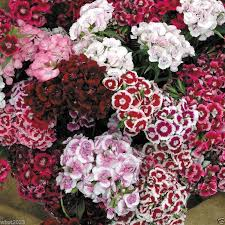 sweet william flowers america dianthus mixed seeds sweet william perennial flower
