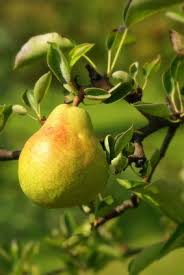 best 25 pear trees ideas on pear recipes pears and
