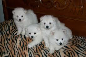 american eskimo dog yahoo sans american eskimos home