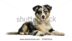 5 month old mini australian shepherd australian shepherd blue merle stock images royalty free images