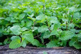 herbe cuisine herbe de menthe poivrée ou de légumes pour cuisiner la plante est
