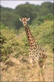 safari animal matching quiz quiz animals