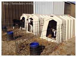 Plastic Calf Hutches Calf Care Part 2 Why Do Dairy Farmers House Calves In Hutches