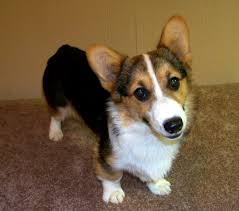 belle beauty arkansas corgis pembroke welsh corgis