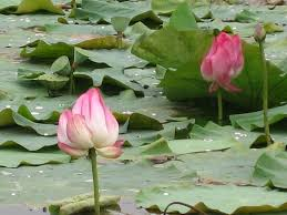 Lotus Flower In Muddy Water - lotus flower muddy waters soccer time bumba books sports