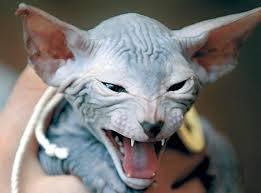 Favorito As 10 raças de gatos mais incomuns do mundo #ZF22
