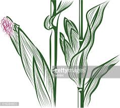 vector drawing of corn vector art getty images
