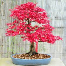 maple tree seeds ebay