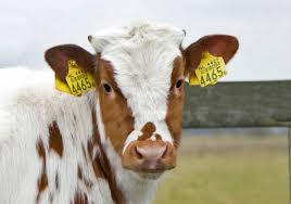 cow tag earrings it might be the owner of the year book drawing 134309789 added