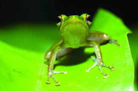 new study contradicts assumption that true frogs diversified as