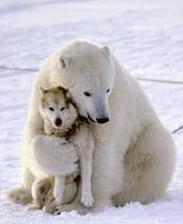 Two Polar Bears In A Bathtub Hungry Polar Bear Befriends And Plays With Husky Sled Dogs In Canada