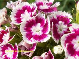 dianthus flower dianthus flower pictures