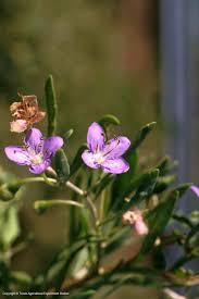 american beauties native plants texas native plants database