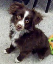 runnin c australian shepherds nav ah meaning beautiful in hebrew a 5 5 month old miniature