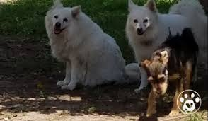 care for american eskimo dog emergency funds for harvey u0027s forgotten victims medical care medic