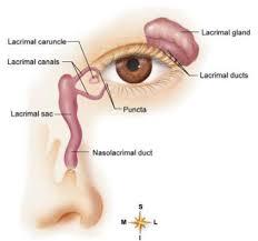 Surface Anatomy Eye Human Anatomy And Physiology For Lifelong Learning