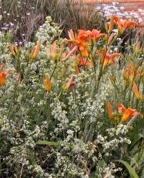 Day Lillies Daylillies And Madder1closeupopt The Wilderness Wife