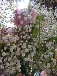 baby s breath flower baby s breath plant britannica