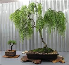 bonsai saule pleureur download weeping willow tree types solidaria garden