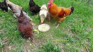 pam u0027s backyard chickens