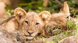 lion cub ngsversion 1466004823231 adapt 945 1 jpg
